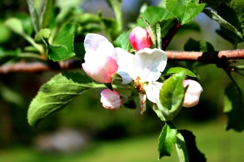 Macro shot of an apple blossom from the front yard.