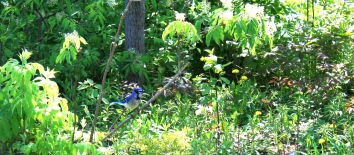 The nice bluejay that visits daily.