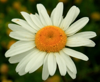 Macro daisy shot, obliged when taking photos of flowers