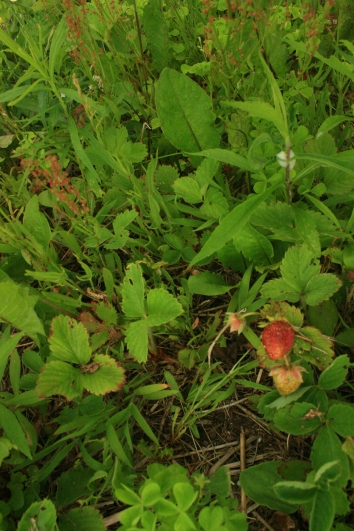 The original shot of the strawberry plants.